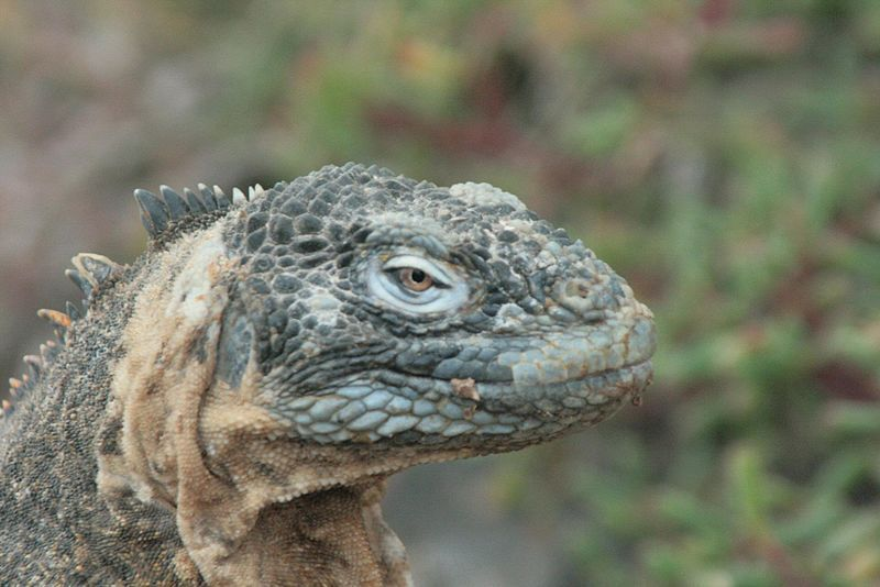 iguana ibrida