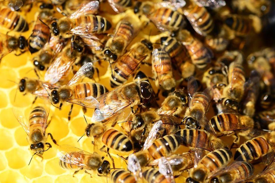 Cosa succederebbe se sparissero le api