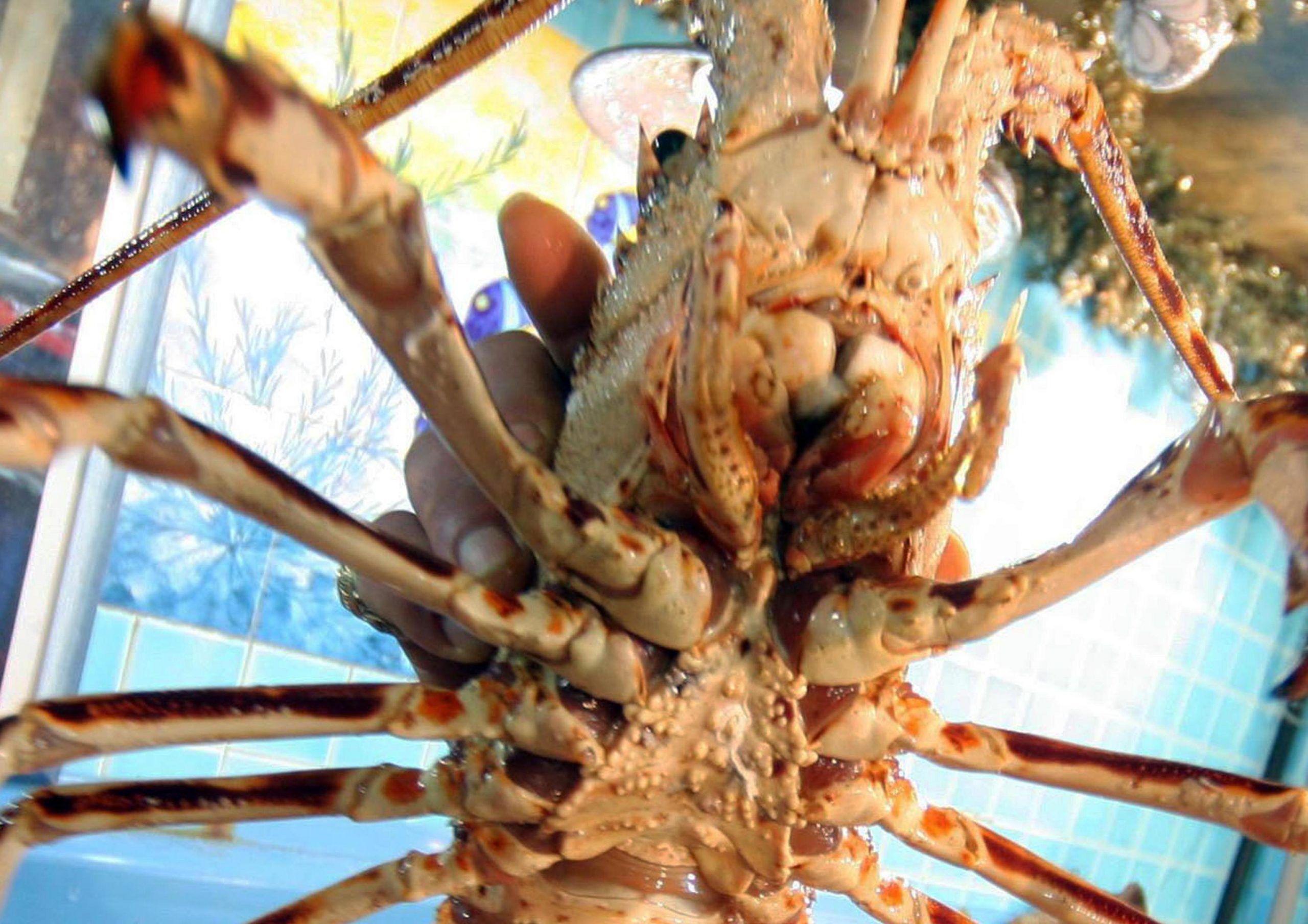 Un'aragostaCapitoni, astici, aragoste, pesci spada ed arin