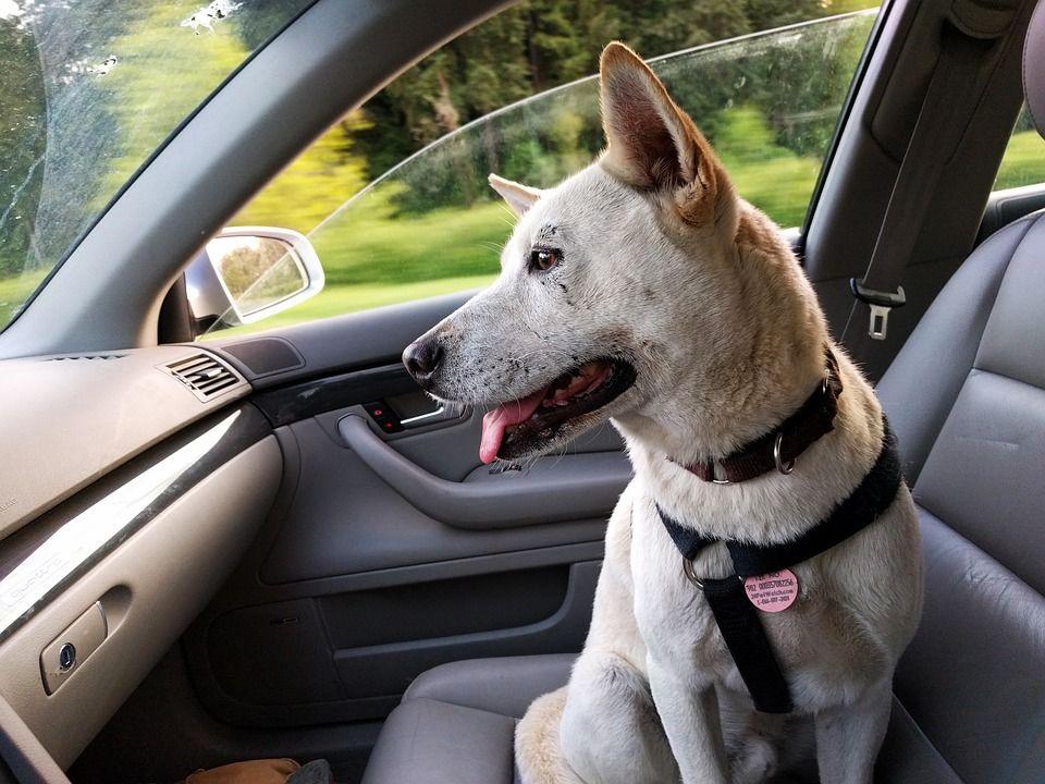 Viaggiare con il cane in auto: tutte le info da sapere