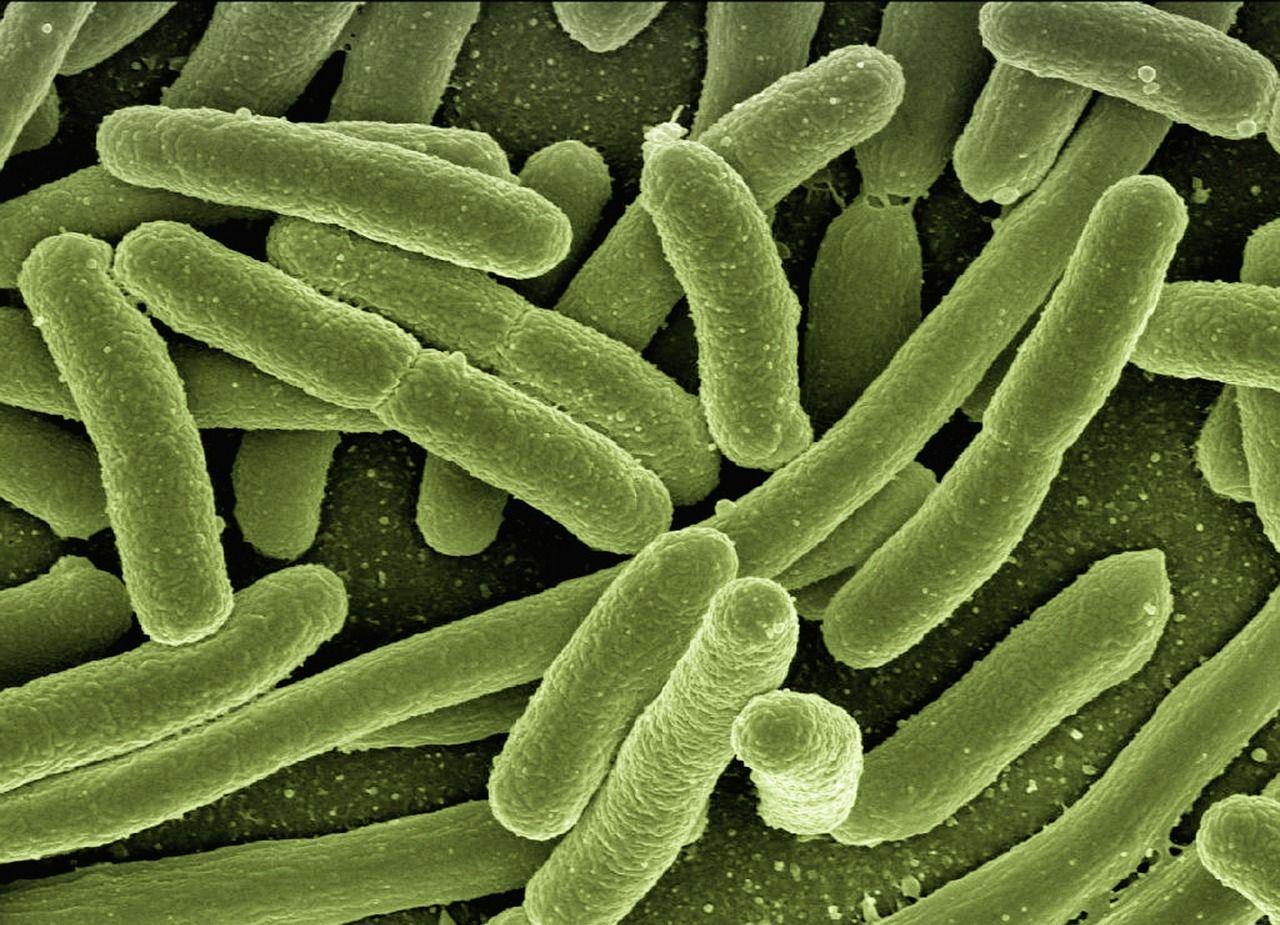 Listeria monocytogenes: sintomi e cura dell'infezione che causa la listeriosi