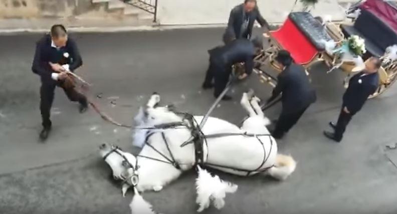 Cavallo traina carrozza con gli sposi e stramazza a terra per la fatica: la rabbia degli animalisti