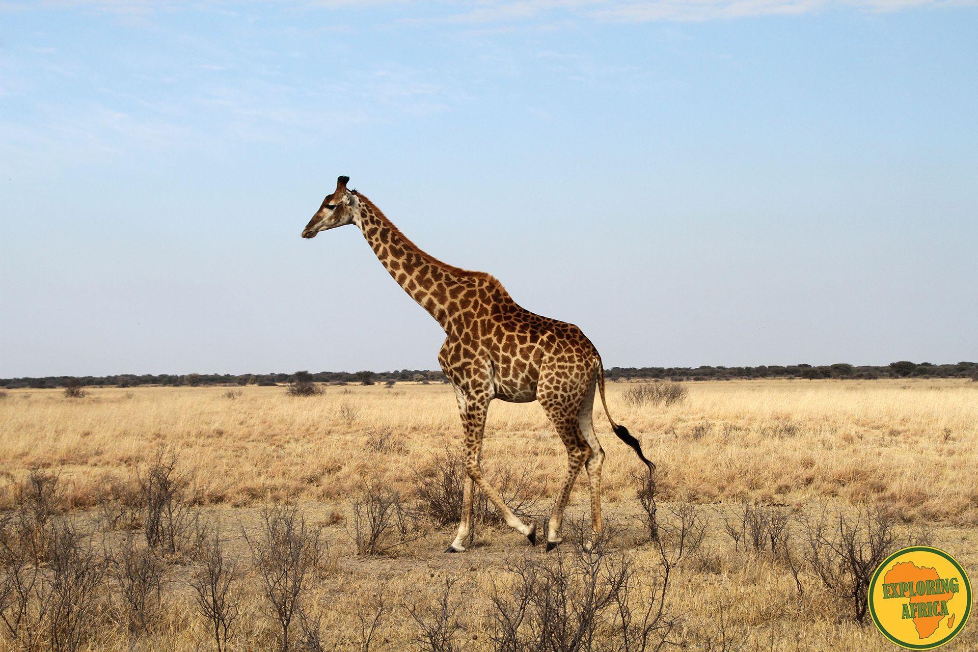 giraffa namibia