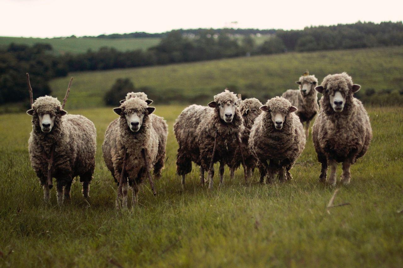 Elia, pastore derubato, incontra la solidarietà della Sardegna, che gli dona nuove pecore