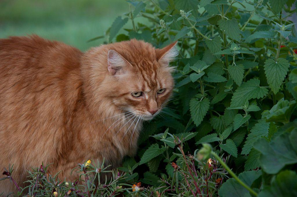 Erba gatta, che cos'è e a che cosa serve questa pianta