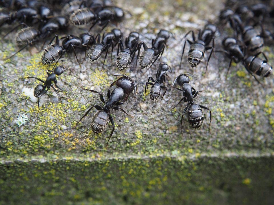 Piante che allontanano le formiche, quali sono le più efficaci?