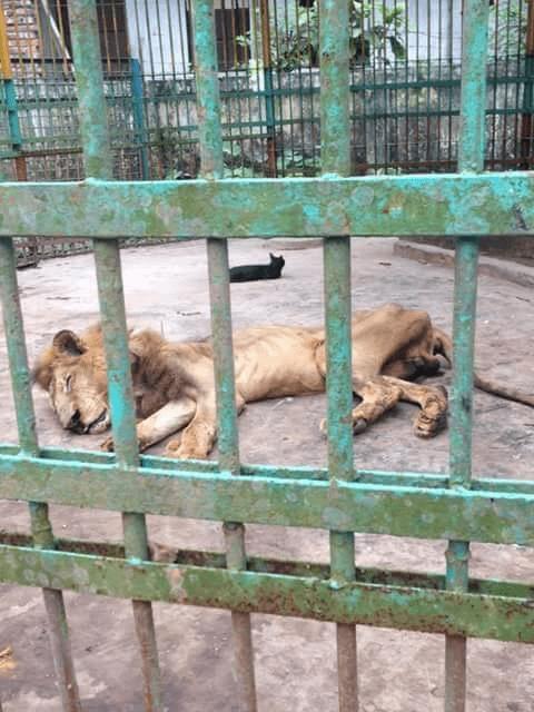Juboraj, il leone scheletrico in uno zoo del Bangladesh