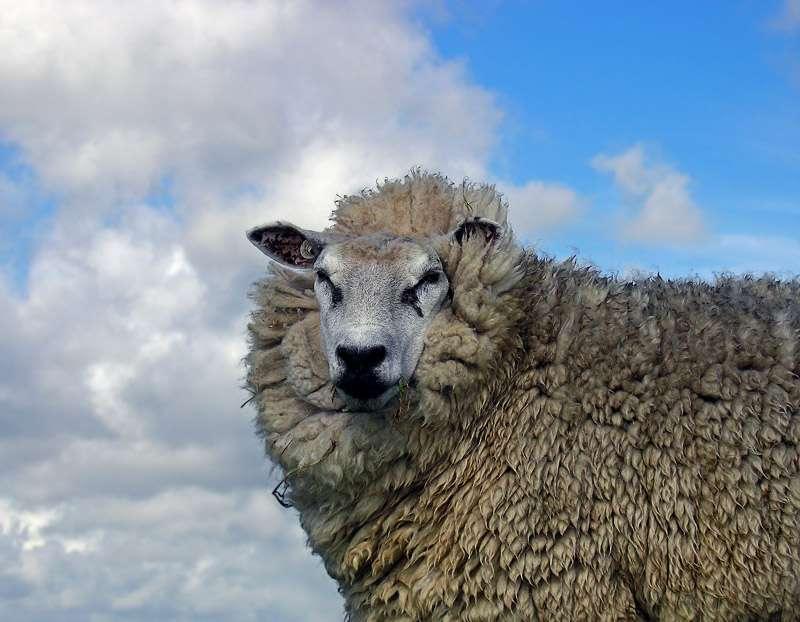 Animali da lana i nomi di quelle più pregiate