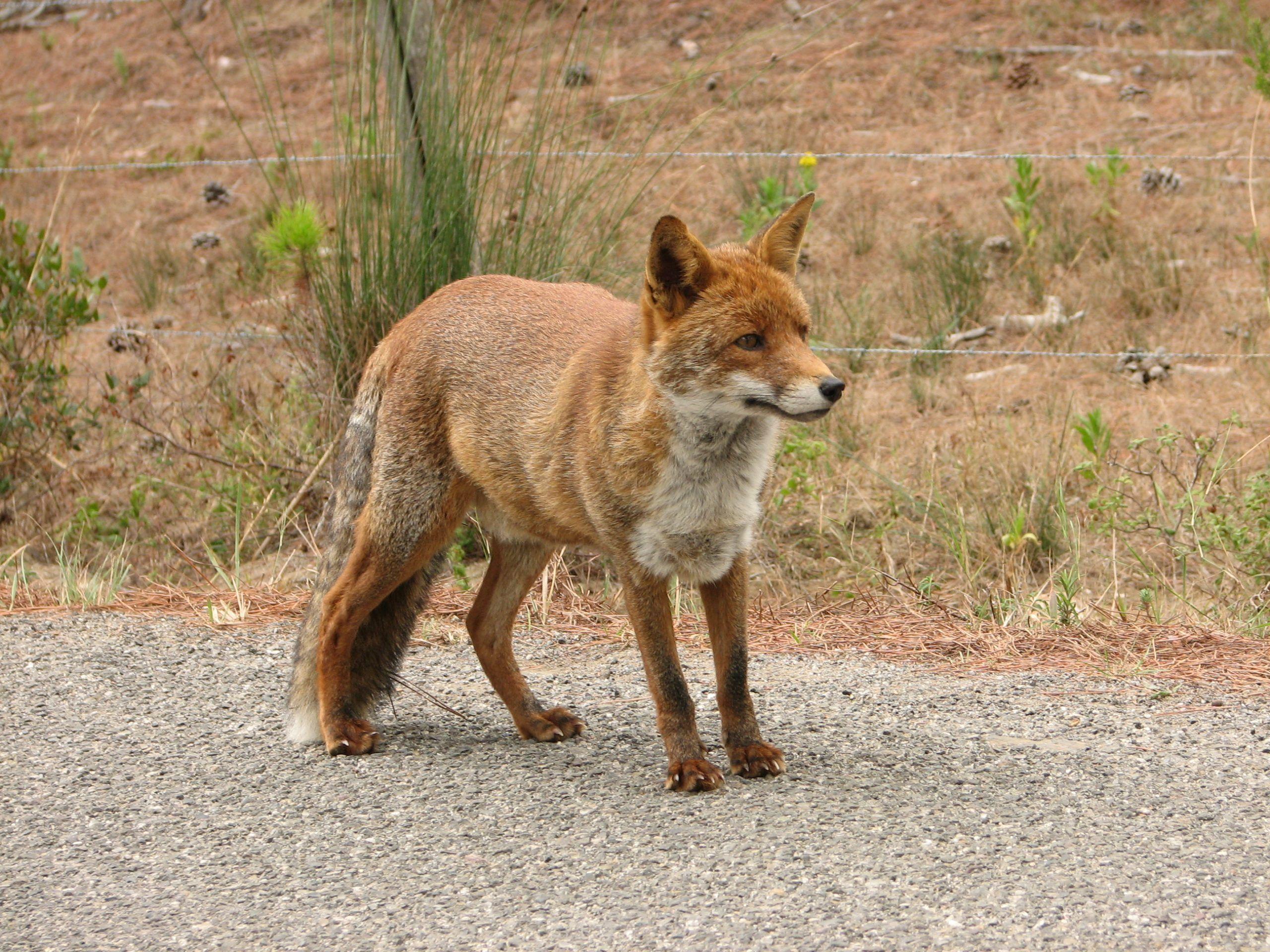 Uccisa a fucilate la volpe mascotte del paese