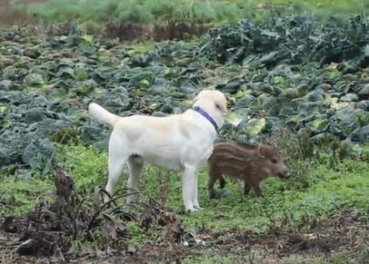 Labrador adotta un cinghiale e lo porta a casa dei padroni