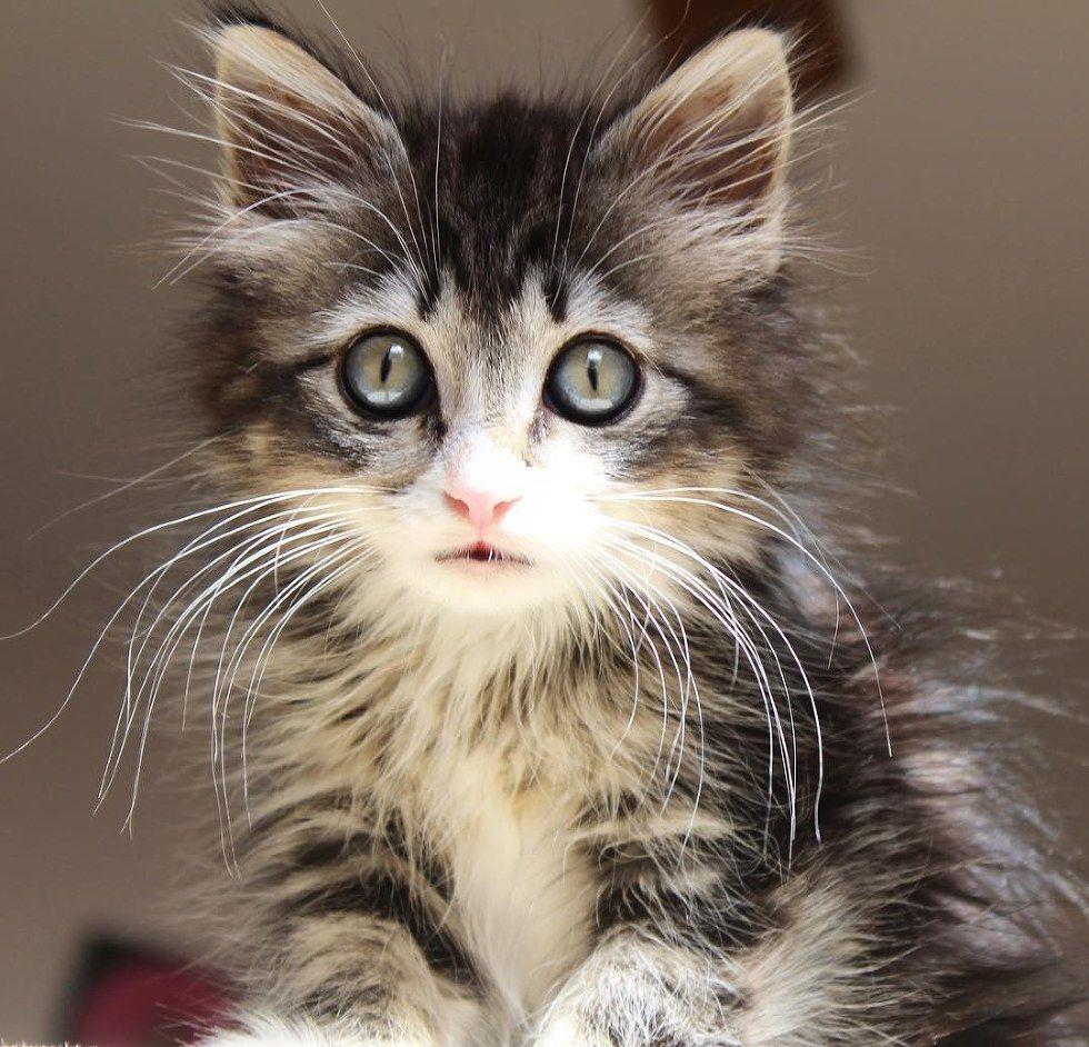 kimbo gatto