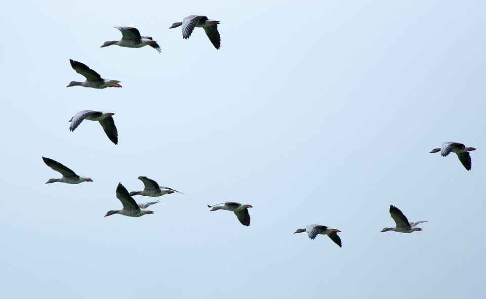 Animali che migrano, gli esemplari che si spostano in inverno