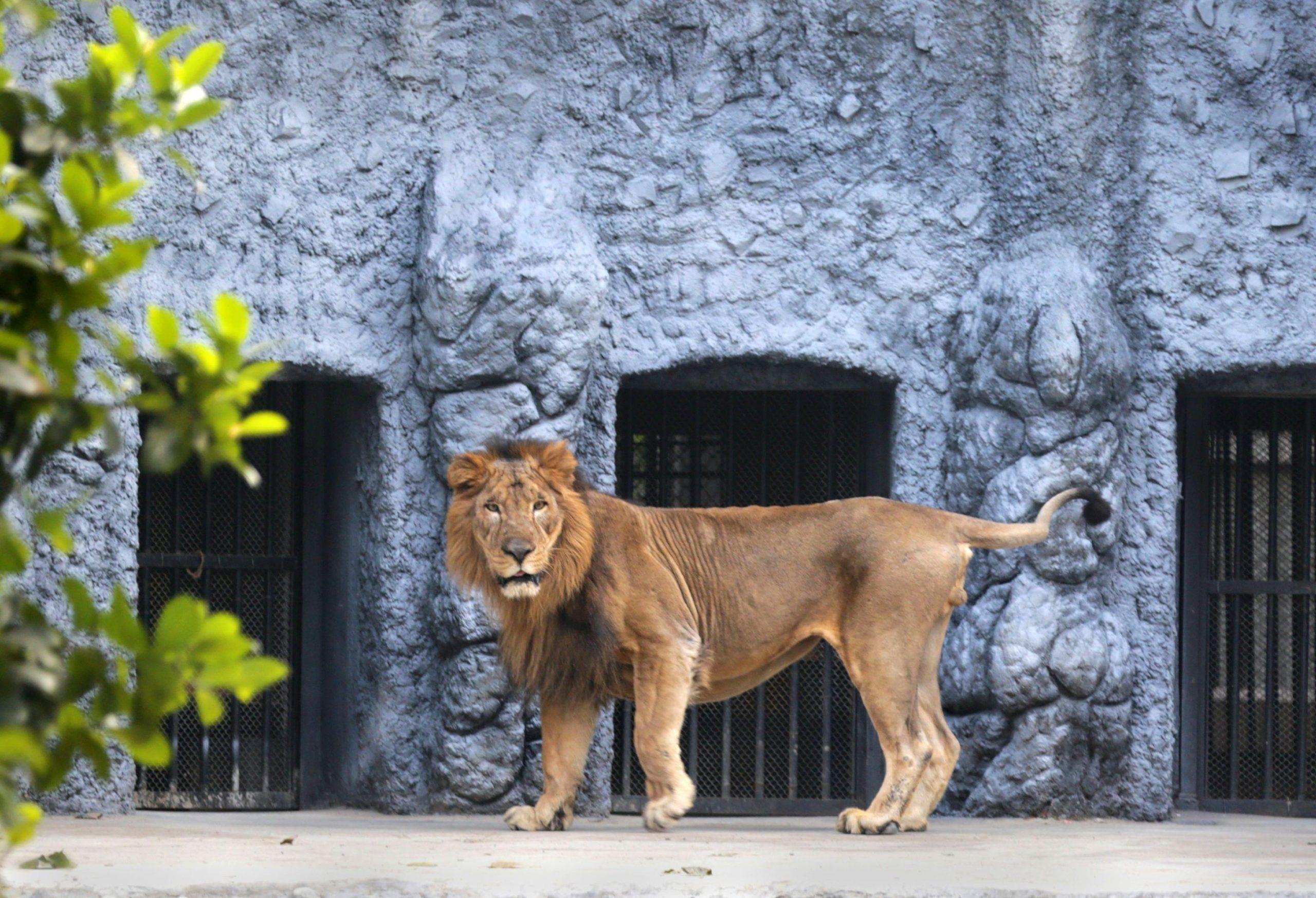 leone allo zoo