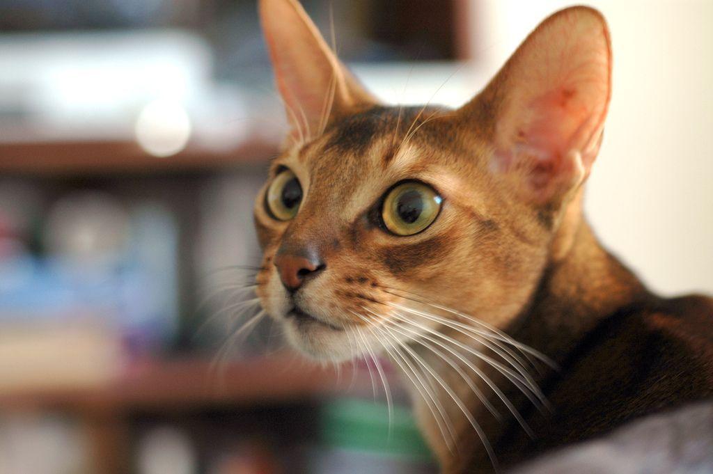 Razze di gatti a pelo corto: da quelli più affettuosi ai giganti