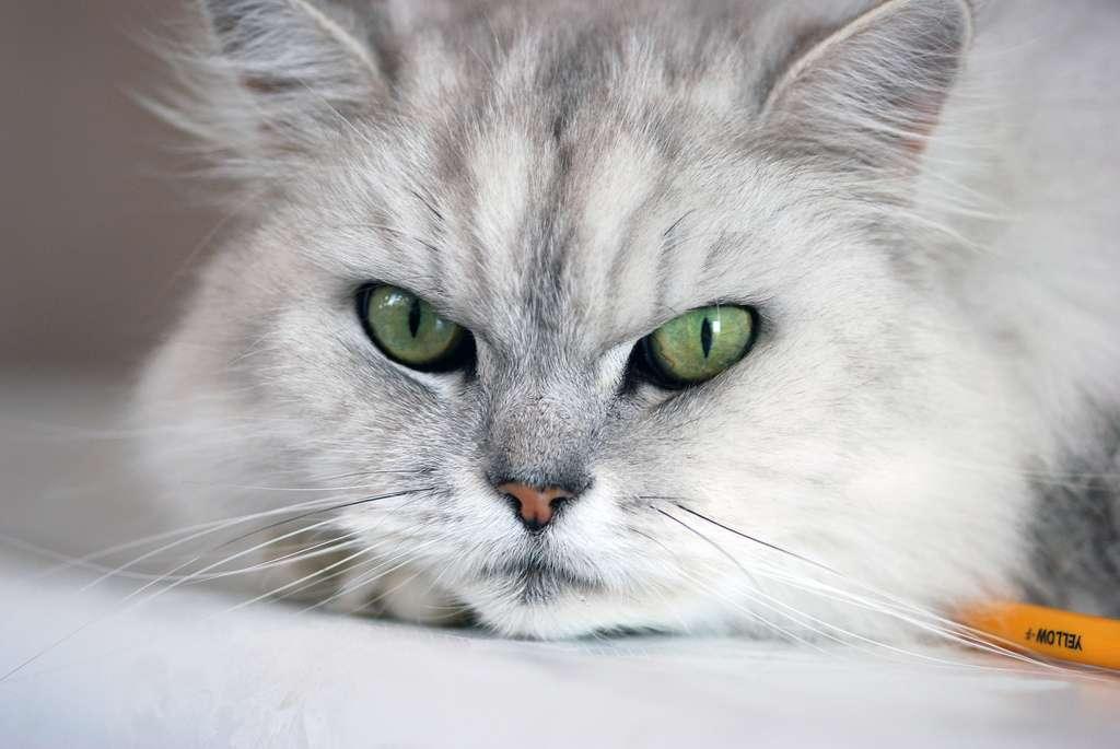 Razze Di Gatti A Pelo Lungo Da Quelli Giganti A Quelli D