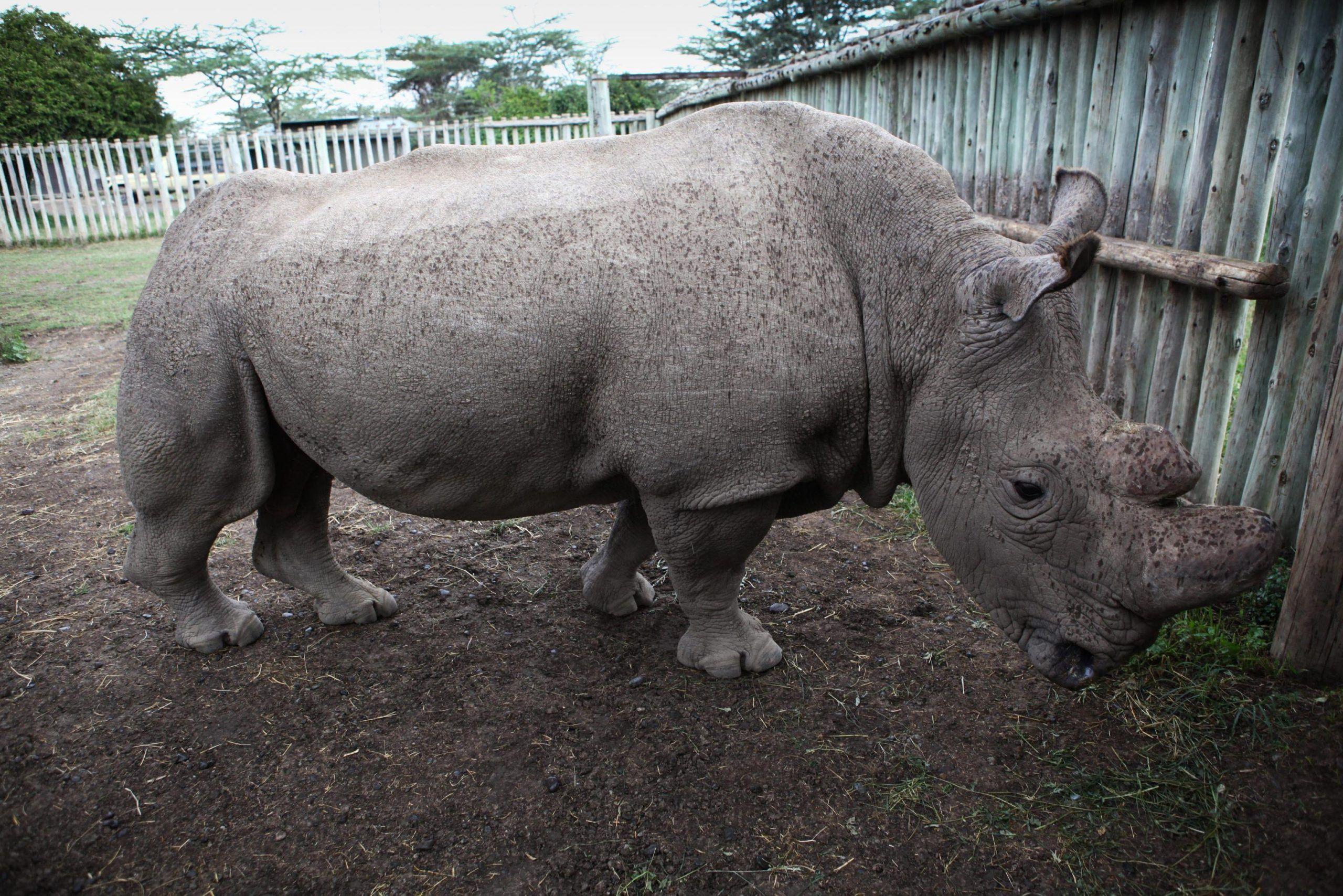 Rinoceronte bianco settentrionale: morto l'ultimo maschio, quale futuro per la specie?