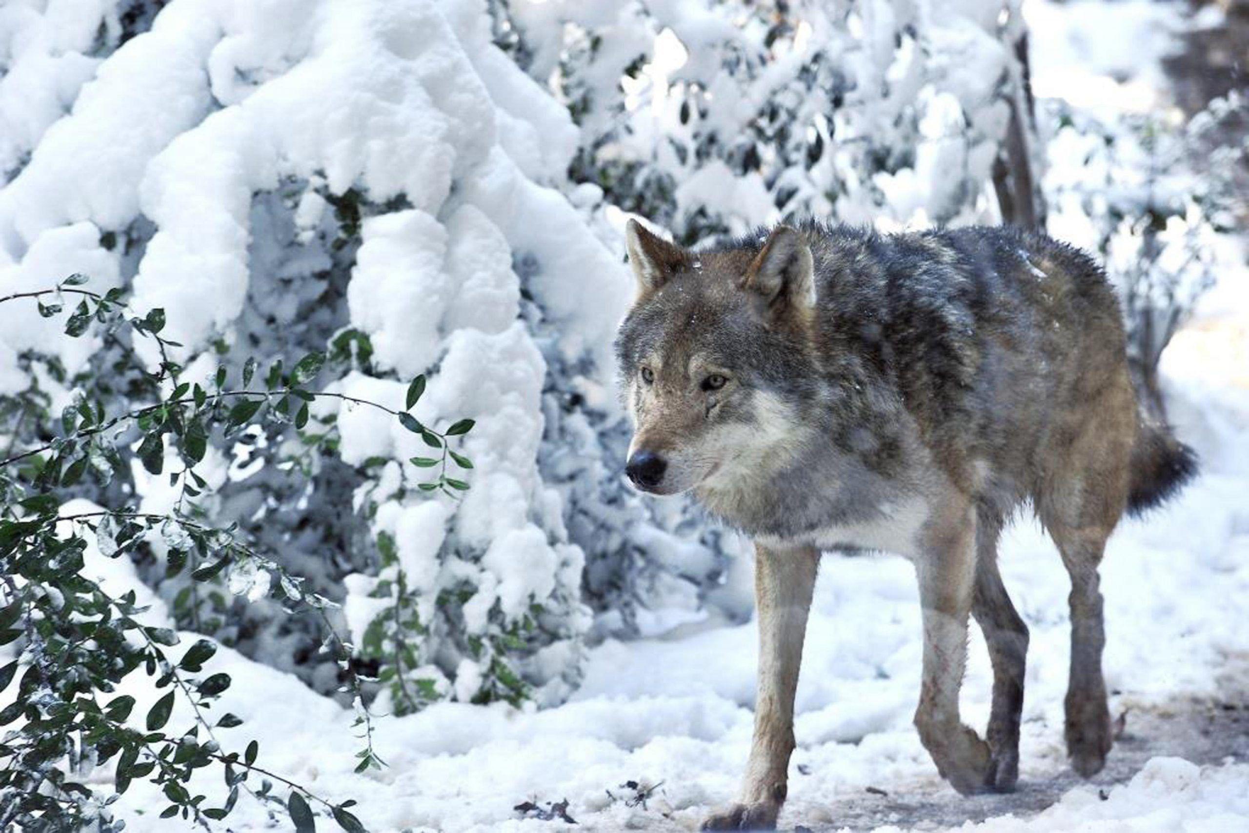 Maltempo: Burian, nella neve gli animali del Bioparco a Roma