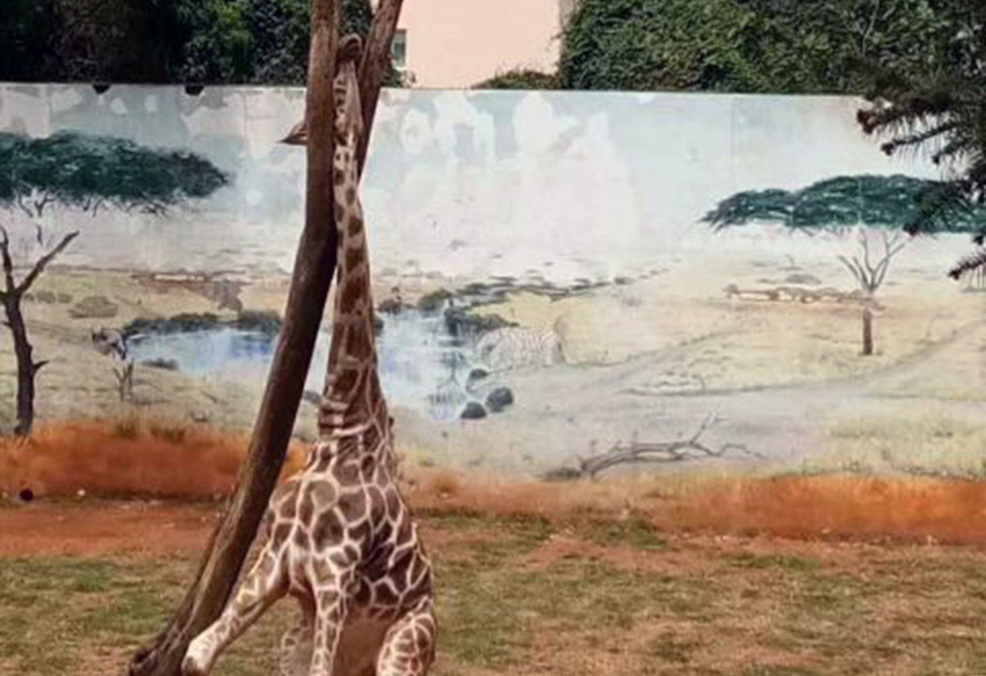 Giraffa muore con la testa incastrata tra gli alberi