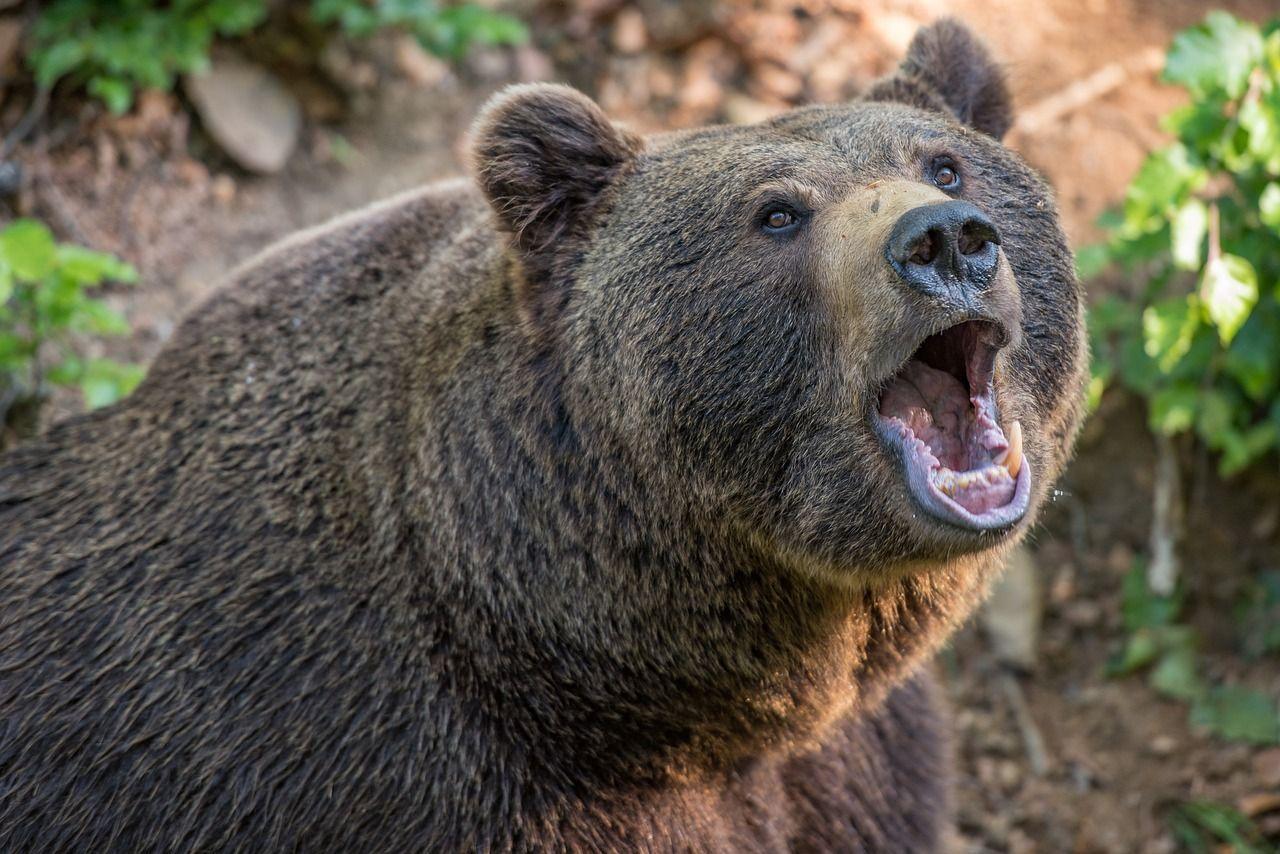 India: tenta di fare un selfie con l'orso ma l'animale lo sbrana