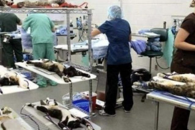 Vivisezione sui gatti l'immagine che circola in rete è una bufala