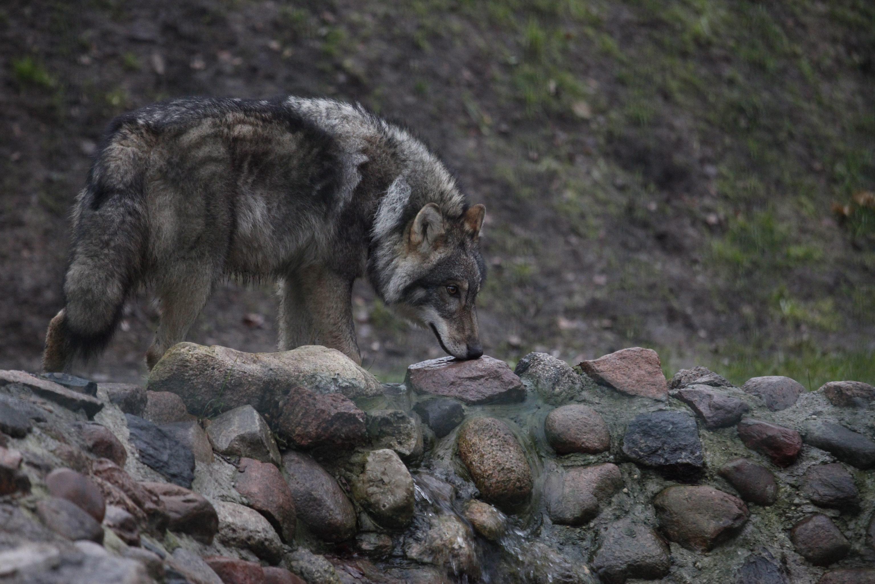Rimini: lupo ucciso e appeso alla fermata del bus, denunciate due persone