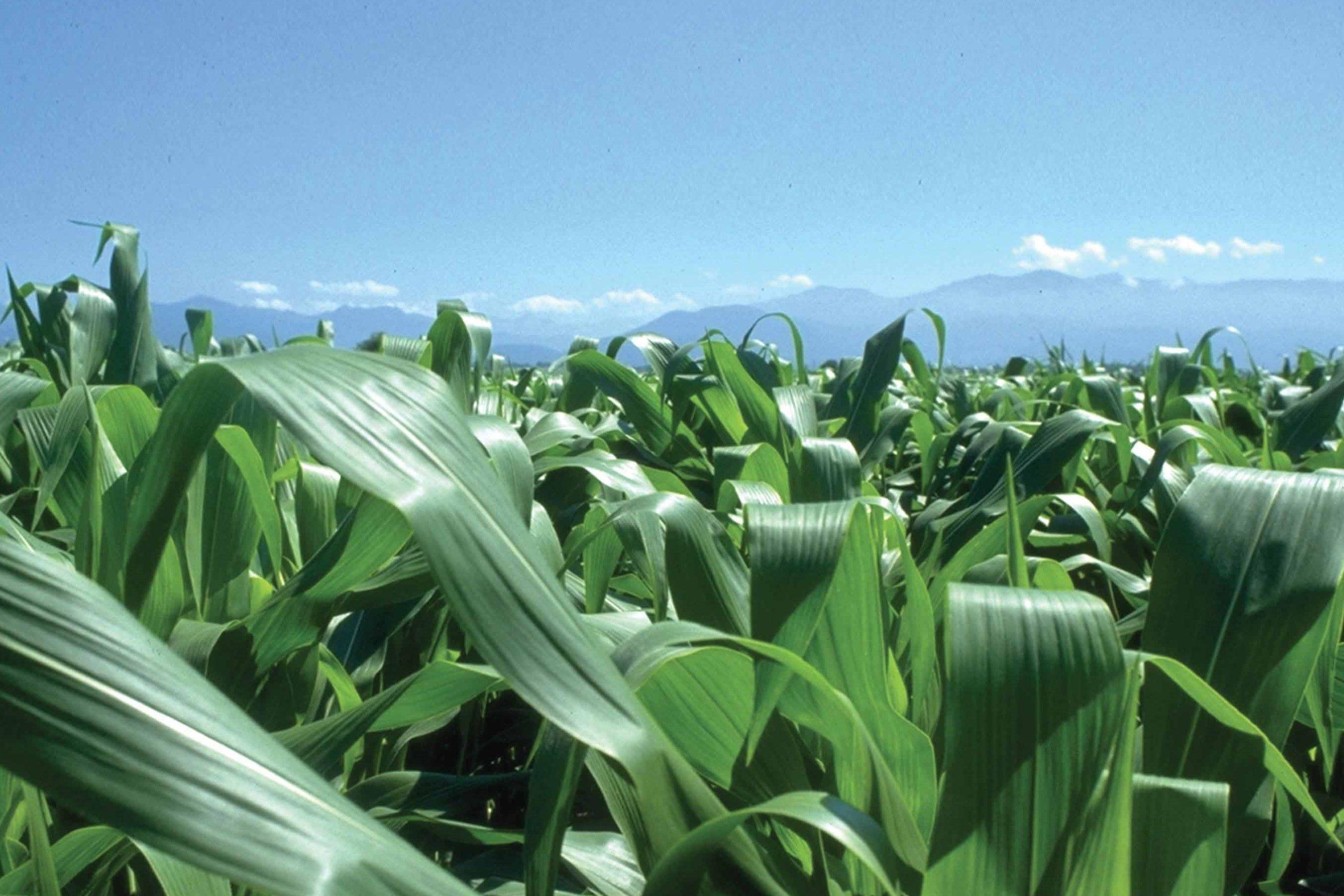Confagricoltura e Syngenta insieme per un protocollo d'intesa sul mais