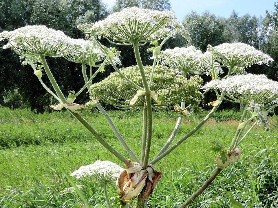 Panace gigante di Mantegazzi, la pianta velenosa che provoca ustioni: dove si trova in Italia