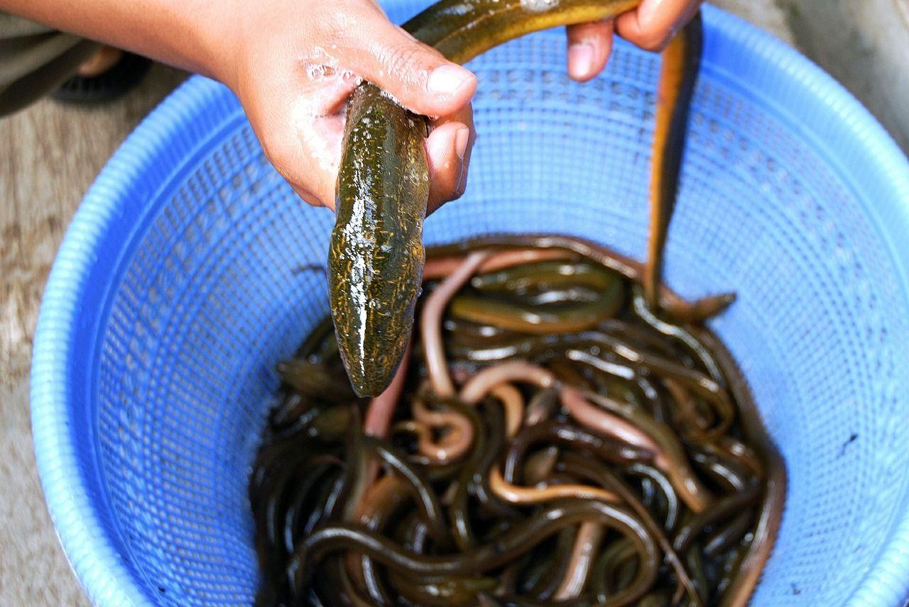 La cocaina inquina i fiumi e anche i pesci a rischio l'anguilla europea