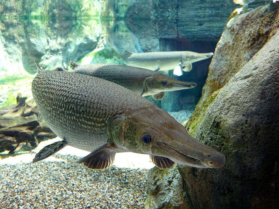 Pesce alligatore