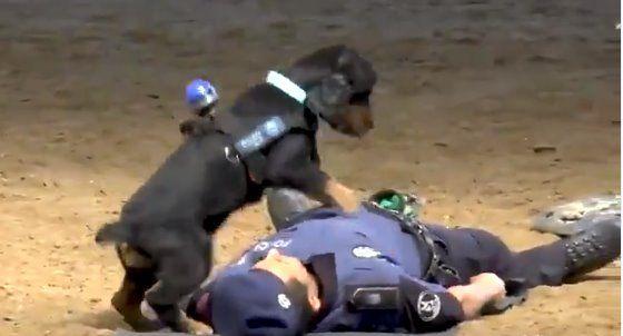 Il cane poliziotto che pratica la rianimazione cardiopolmonare è una star del web [VIDEO]