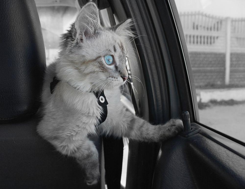 Gatto chiude i padroni fuori dall'auto, è accaduto sull'A1