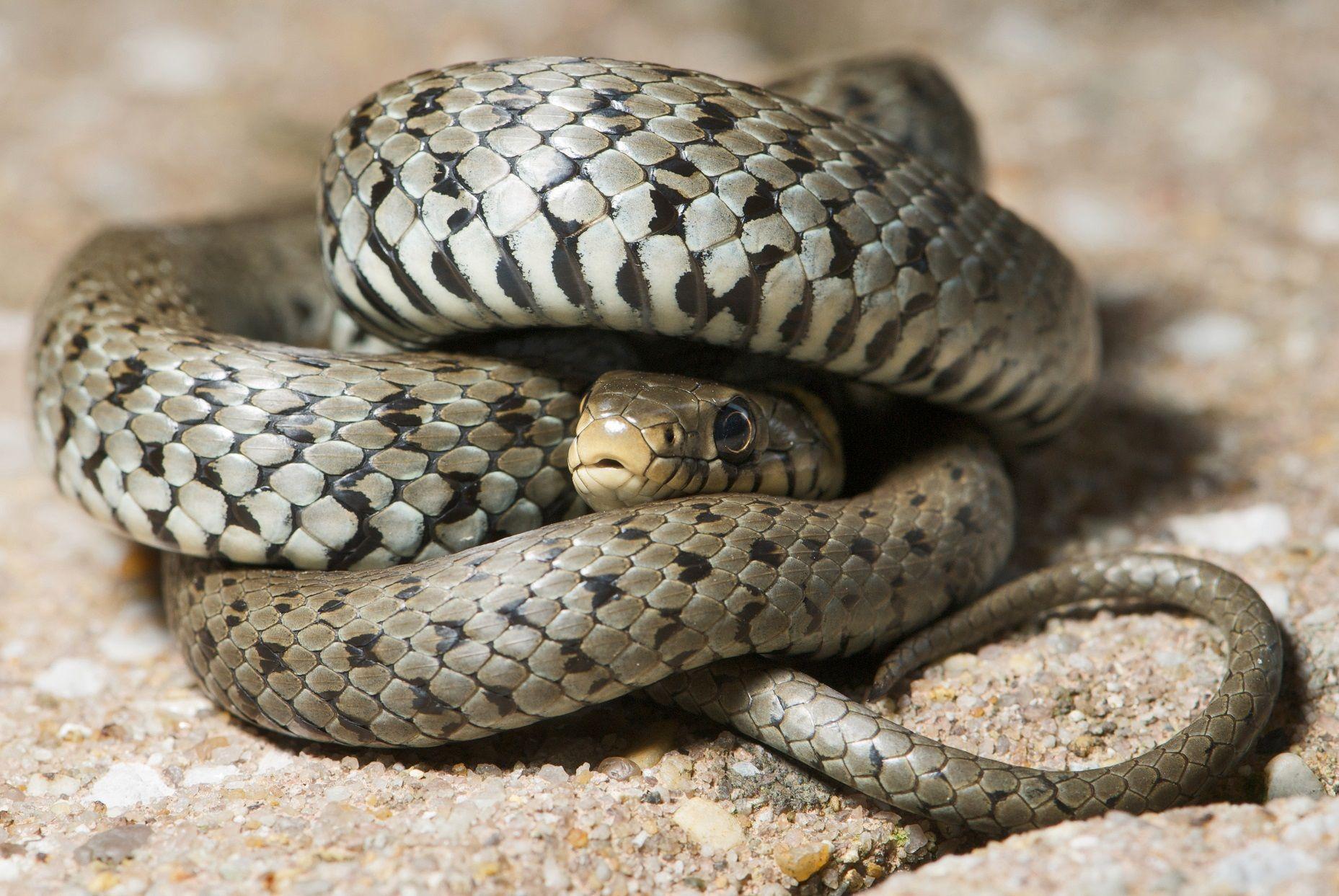 Cerveteri, un serpente in cucina scatena il panico