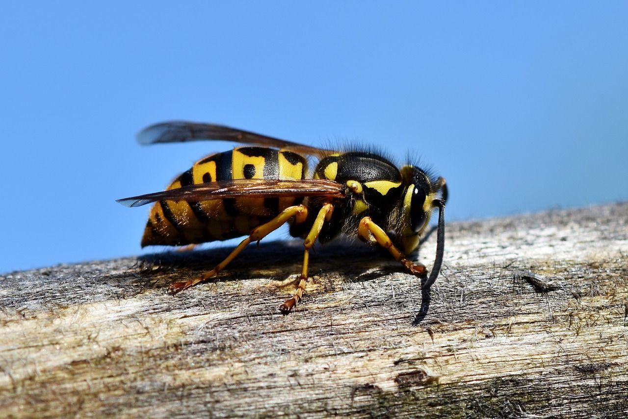 Punto dai calabroni, 66enne muore di shock anafilattico