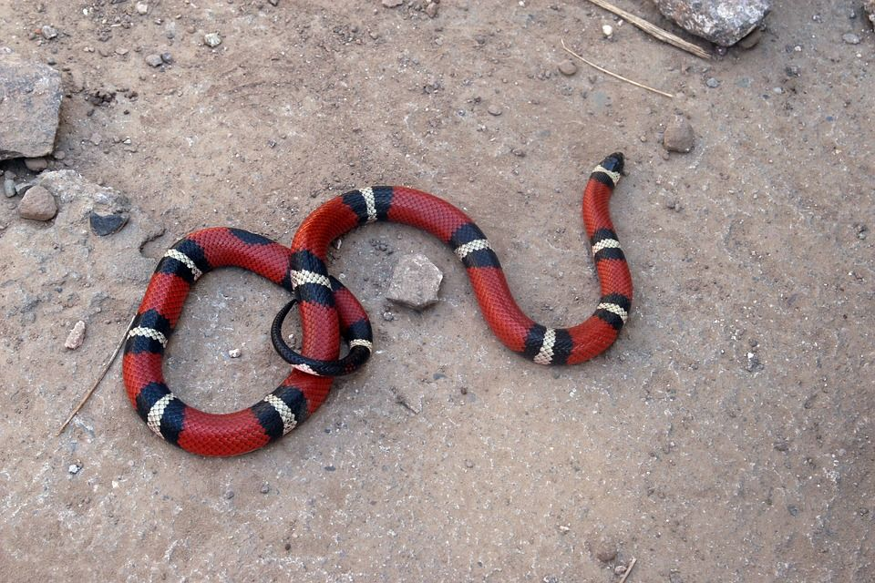 Serpente falso corallo