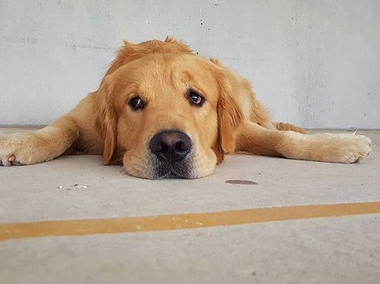 Un grosso cane ha paura delle scale mobili, il padrone lo prende in braccio nonostante la sua mole