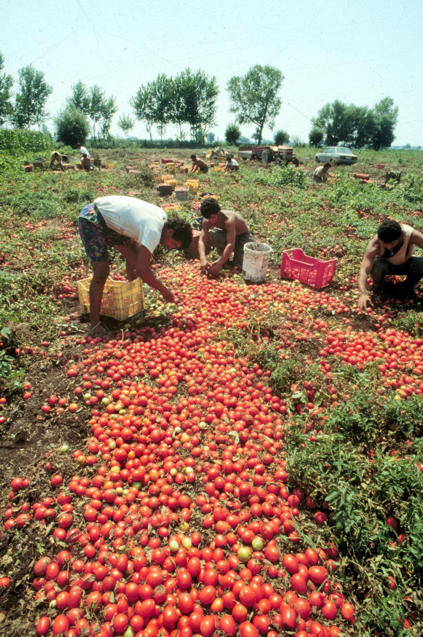 braccianti raccolta pomodori