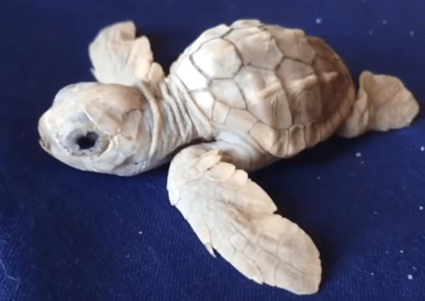In Calabria è nata una rara tartaruga albina
