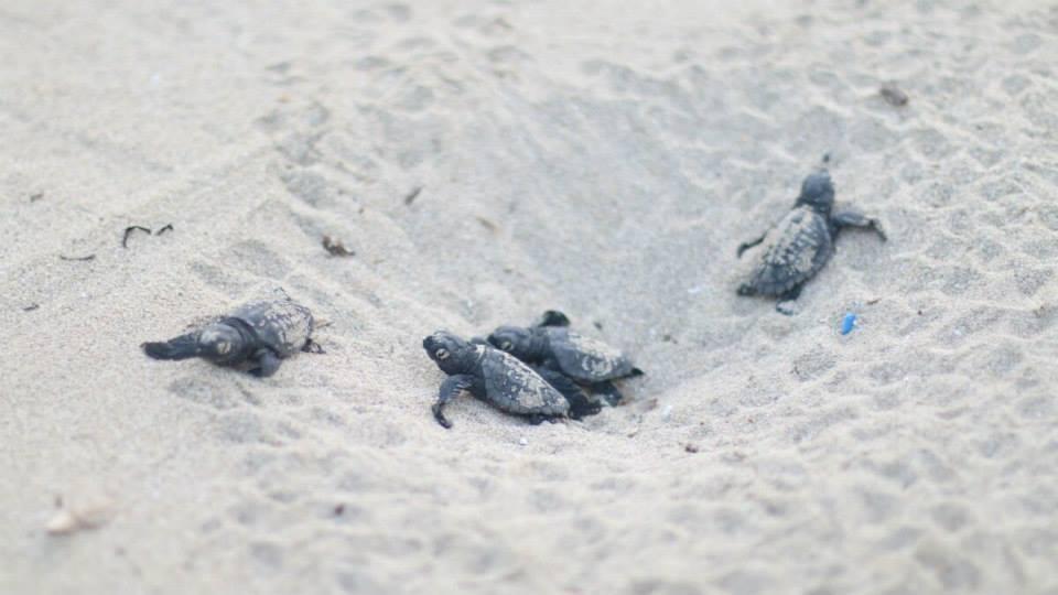 Isola d'Elba: tartarughe nascono sulla spiaggia di Straccoligno in mezzo ai bagnanti
