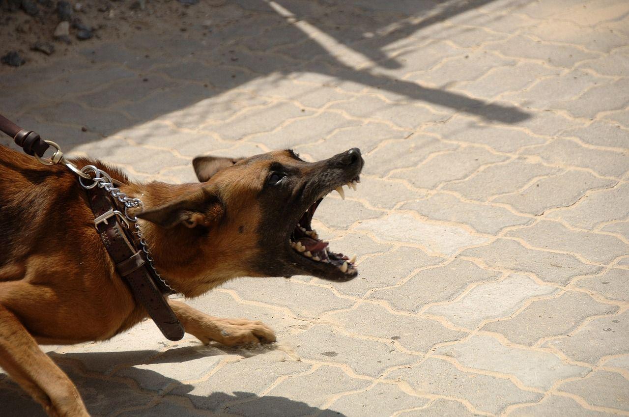 Puglia cane di grossa taglia sbrana un cagnolino tenuto al guinzaglio