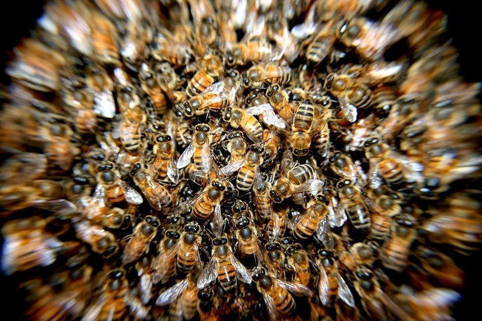 Uomo assalito da uno sciame di api killer: è stato punto oltre 600 volte