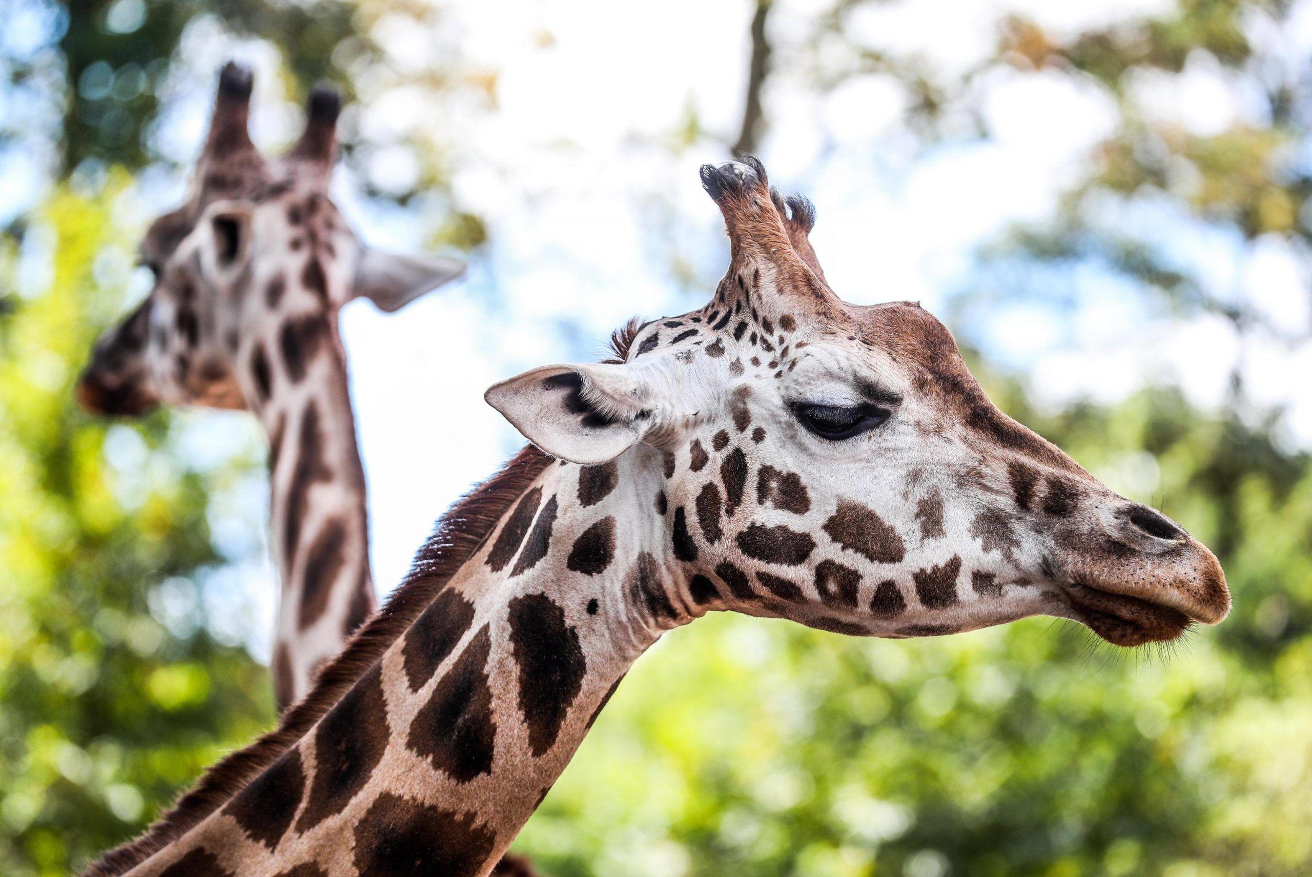 Madre e figlio attaccati da una giraffa in una riserva in Sudafrica