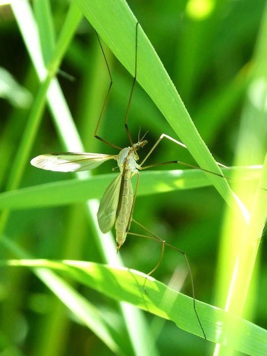 zanzara anopheles