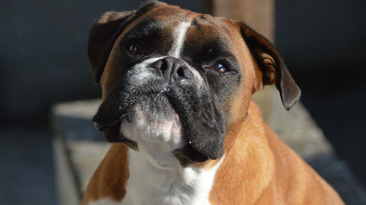 Un cane si finge randagio per ottenere cibo. La padrona avverte: 'Non ne ha bisogno, è già grassa'