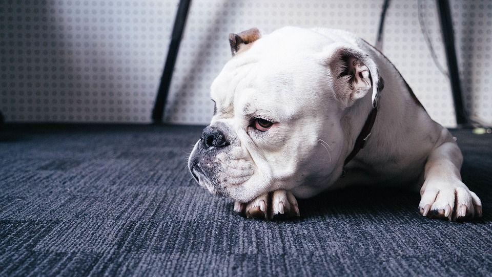 Bulldog gli strappa pene e  testicoli con un morso: 22enne in coma