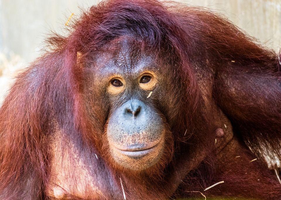 Pony, l'orango costretta a prostituirsi per soddisfare i braccianti del Borneo