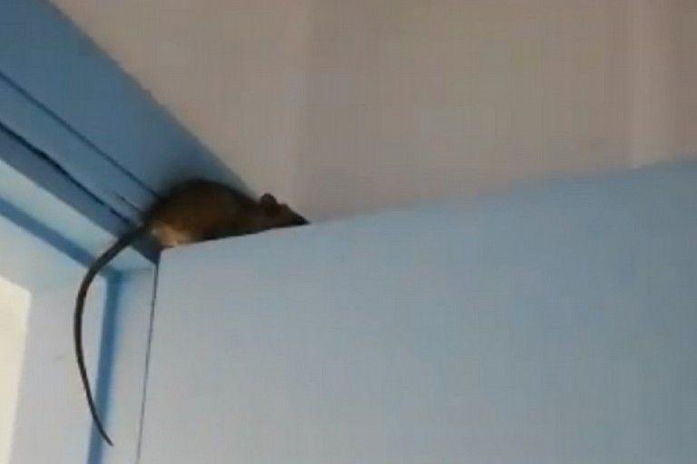 Topo sulla porta del reparto di Malattie infettive dell'ospedale di Bisceglie: l'Asl avvia l'indagine