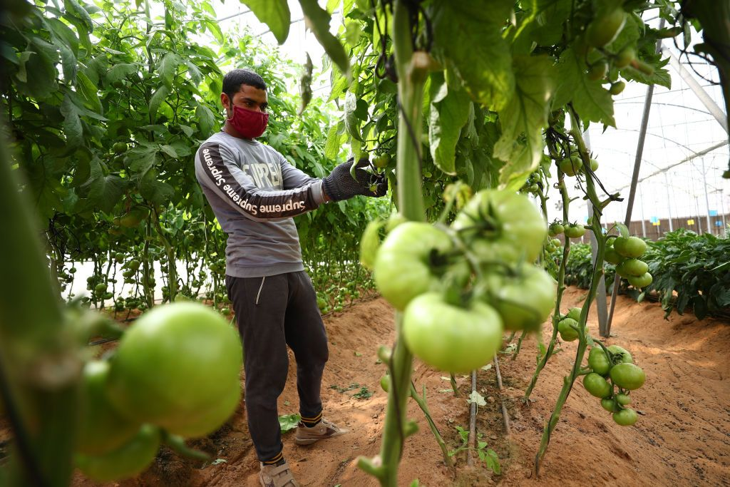 ragazzo raccoglie pomodori