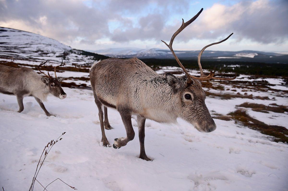 Clima, è allarme per animali artici: le renne anticipano il parto