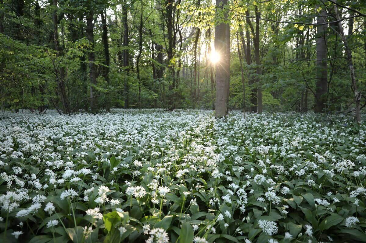 L'aglio selvatico copre un terreno boschivo il 10 maggio 2017 a Scunthorpe, in Inghilterra. L'aglio selvatico, che è attualmente in fiore, sta diventando sempre più popolare tra i cuochi che lo usano in vari piatti tra cui zuppe, paste e patatine fritte
