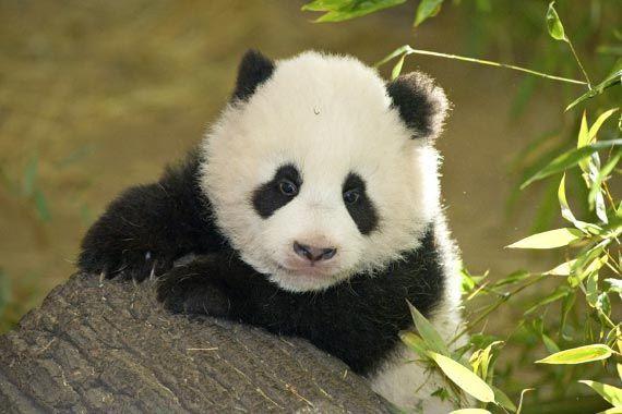 Cucciolo di panda 150x150